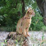Abessinierkatze – die Göttin unter den Katzen