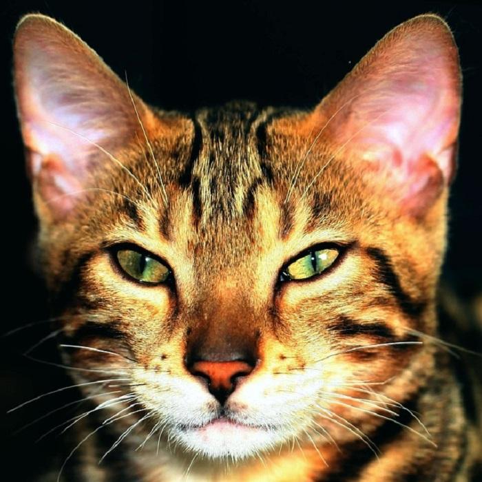 Rassekatzenbewertung – so funktionieren Katzenausstellungen