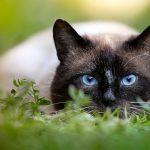 Rassekatzen – die edelsten Katzen überhaupt