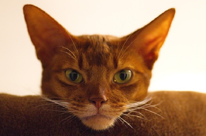 Informationen über Katzenausstellungen einholen