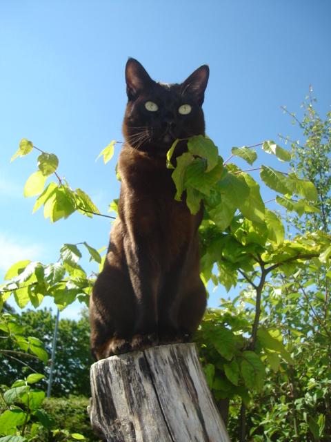 Asian (Katze)