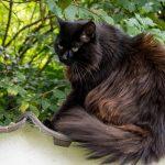 Die Katzenzucht und ihre Risiken