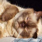 Die Ziele von Katzenausstellungen