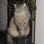 Die Sibirische Katze auf einer Ausstellung
