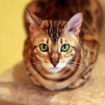 Bengal-Katzen – Zucht, Bewertung und Rassestandard
