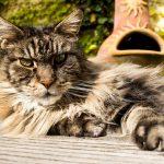 Die besondere Rasse auf Katzenshows – die Maine Coon