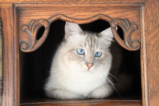 Die Birma-Katze – eine Augenweide und ein Sensibelchen