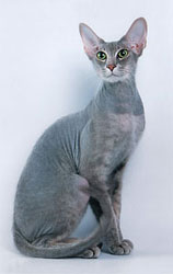 Grazil und extrem teuer – die Peterbald-Katze