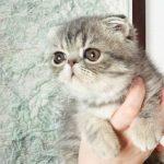 Foldex – lustige Katze mit gekrümmten Ohren