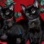 Bombay-Katzen – die kleinen Panther