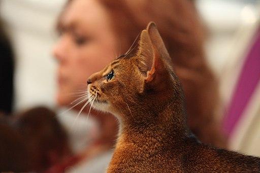 Abyssiner Katze