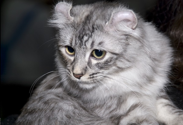 American Curl Shorthair – Schönheit mit gekrümmten Ohren