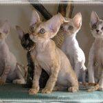 Devon Rex – eine der freundlichsten Katzen der Welt!