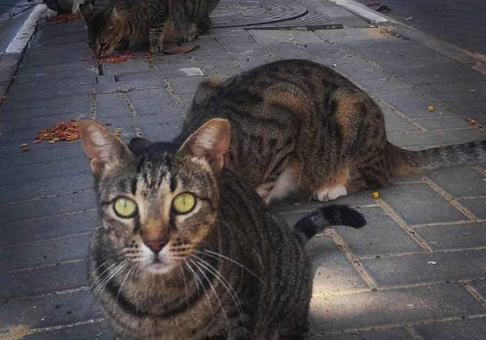 Katzen Israel