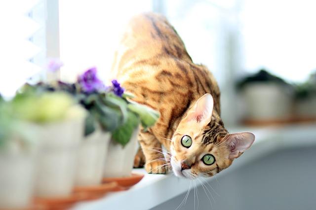 Bengal – die sanfte Wildkatze