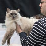 Wann wird eine Katze zum Champion?