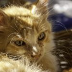 Die Sommerpause endet – die nächsten Katzenausstellungen stehen an