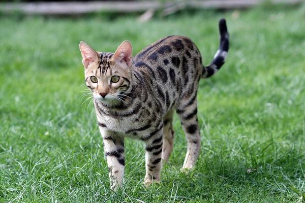Online-Kurse sind in – Wie Züchter und Katzenhalter davon profitieren können