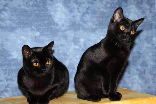Die seltenste Katzenrasse Europa