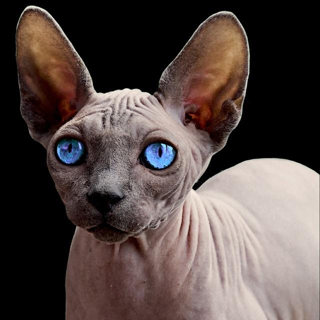 Die Einen lieben sie – die anderen finden sie seltsam: Die Sphynx Katze