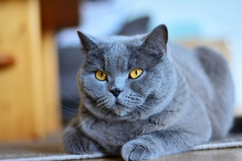 Die Kartäuser Katze – Mehr als ein Modell