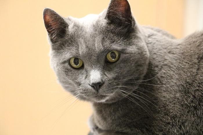 Wie stressig ist eine Katzenshow für ältere Katzen?
