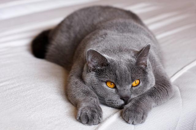 Wie wird eine Katzenausstellung vorbereitet?