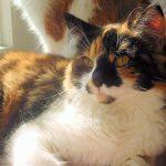 Aristokratisch und gar nicht spießig – die Deutsch Langhaar Katze