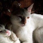 Anatoli – Ein klangvoller Name für eine Katzenrasse