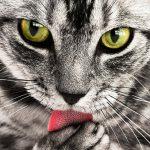 Die spezielle Farbgebung der Tabby-Katzen