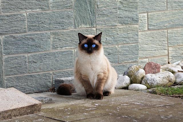Das sind derzeit die beliebtesten Katzenrassen