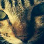 Internationale Katzenausstellung Gifhorn