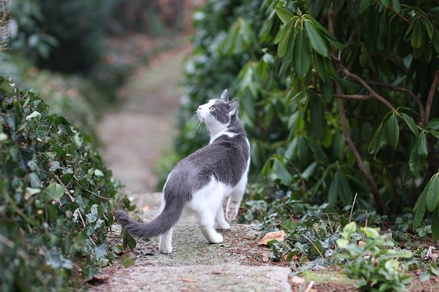 Katze-jagen-suchend