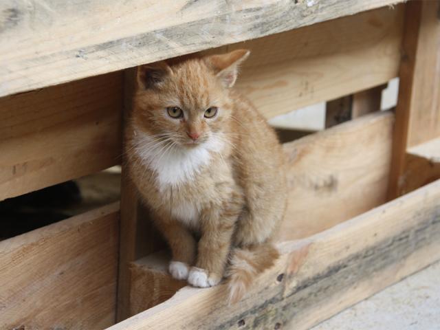 rötliche Katze mit weissem Felc