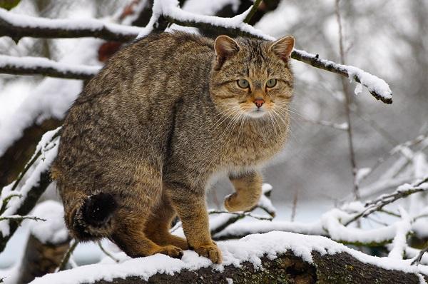Europaeische Wildkatze