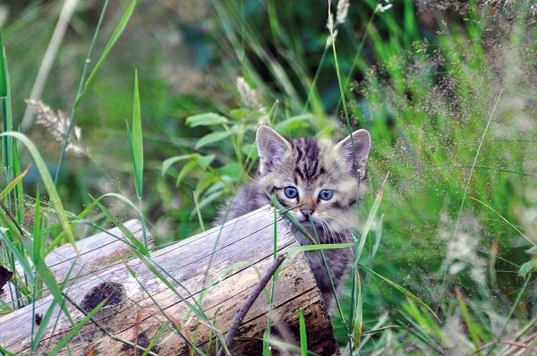 Junger Wildkatzenwelpe