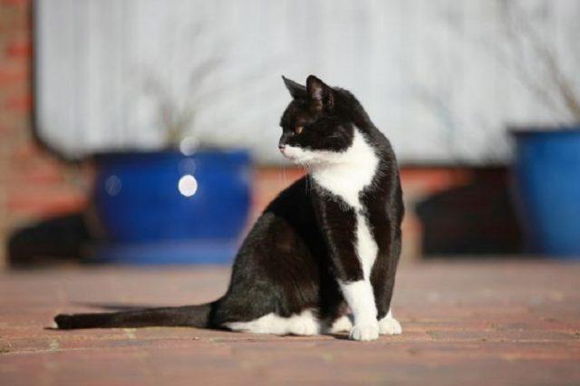sitzen-schwarz-weiße-katze
