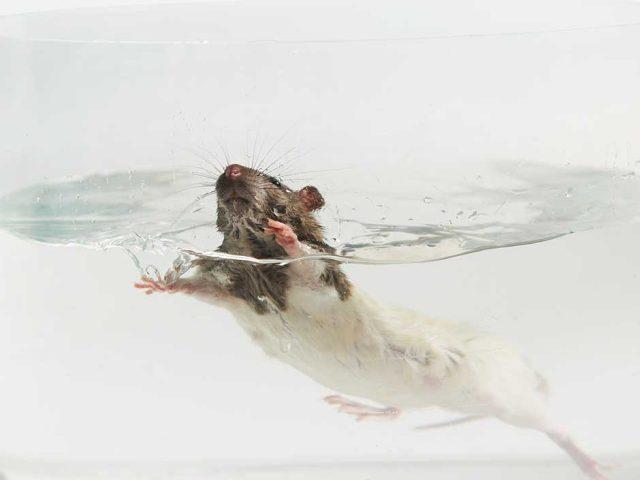 PM_Ratte-schwimmt-im-Glas_(c)Aerzte-gegen-Tierversuche
