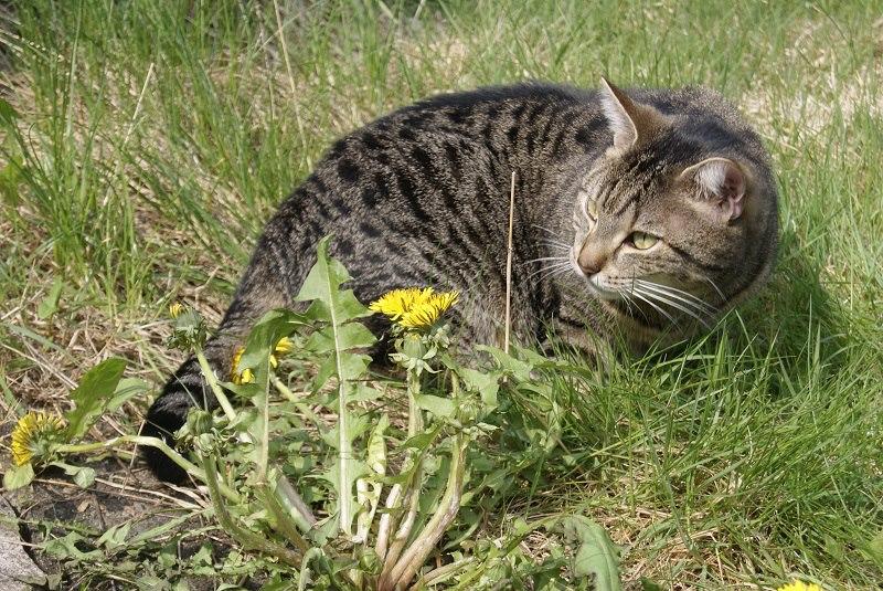Freigaenger Katze auf Wiese